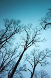 Avlövade kala träd över mörker - bakgrund för blå himmel Arkivfoto