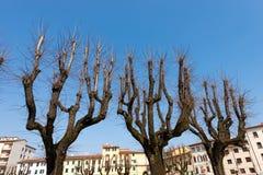 Avlövade träd i staden - Pistoia Italien arkivfoton