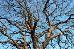 Avlövade träd med blå himmel Arkivbild