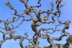 Avlövade trädfilialer mot den blåa himlen Royaltyfri Bild