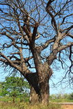 Avlövade Trees Arkivbilder