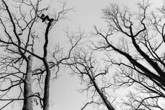 Avlövade utmaningträd över himmelbakgrund svart white Royaltyfria Foton