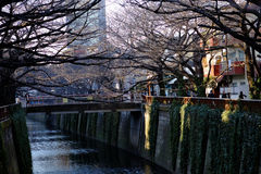 Avlövat träd för körsbärsröd blomning längs den Meguro floden på FEBRUARI 11, 2015 i Tokyo Arkivfoto