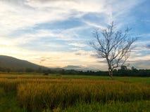 Avlövat träd i den halva risfältet och risfältfältet med berget på solnedgång royaltyfria bilder