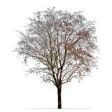 Avlövat trädfoto som isoleras på vit arkivbilder