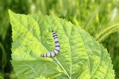 avmaskar den ringed silk silkwormen för den gröna leafmullbärsträdet Arkivfoto