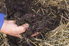 Avmaskar och mylla i hand för man` s - flocken av Dendrobena avmaskar ovanför kompost med gödsel och gödningsmedel royaltyfri fotografi