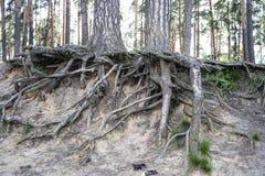 Avobe tutto dell'albero Radici dell'albero nella foresta Fotografia Stock Libera da Diritti