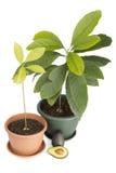 Avocado Royalty-vrije Stock Foto
