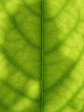 Avocado. Green avocado tree background with venation Stock Image
