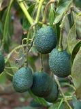 Avocado Royalty-vrije Stock Fotografie