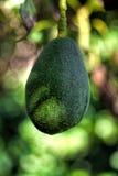 Avocado auf Baum Lizenzfreies Stockbild