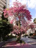 Avocado-Baum in der Straße in Marbella Andalusien Spanien Stockfotografie