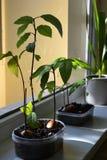 Avocado in bloempot stock afbeelding