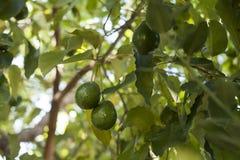 Avocado che cresce sull'albero Fotografia Stock Libera da Diritti