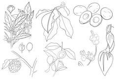 Avocado Cynamonowy Annona, Sweetsop liście i owoc nakreślenie i royalty ilustracja