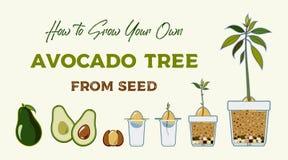 Avocado drzewa doro?ni?cia przewdonika wektorowy plakat Zielona prosta instrukcja rosn?? avocado drzewa od ziarna Avocado etap ?y ilustracja wektor