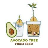 Avocado drzewa doro?ni?cia przewdonika wektorowy plakat Zielona prosta instrukcja rosn?? avocado drzewa od ziarna Avocado etap ?y royalty ilustracja