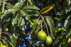 Avocado drzewo zdjęcie royalty free