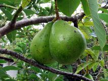 Avocado. Is the edible fruit, a tree of the Lauraceae family native to Mexico Stock Photography