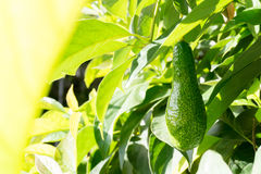 The avocado effect on the tree Royalty Free Stock Image
