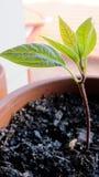 Avocado, früh im Leben Lizenzfreie Stockbilder