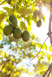 Avocado fruit on branch surrounded with leaves Stock Photography
