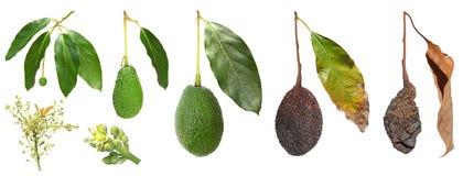 Avocado fruit development Stock Photo