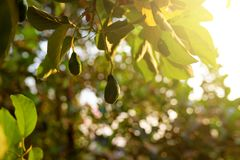 Sunset at the Koh Rong Samloem island. Avocado fruit grooving in the tree of the tropical garden. Sunset light lightening layer of the fruits and leaf of the Stock Photos
