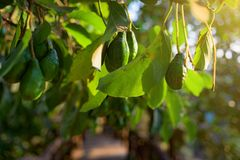 Sunset at the Koh Rong Samloem island. Avocado fruit grooving in the tree of the tropical garden. Sunset light lightening layer of the fruits and leaf of the Royalty Free Stock Image