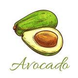 Avocado fruit sketch for healthy food design Royalty Free Stock Image