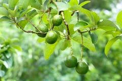 Avocado fruit tree Royalty Free Stock Photos