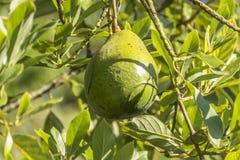 Avocado fruit in tree in Sri Lanka Royalty Free Stock Images