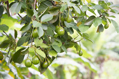 Avocado. Fruits hanging on a tree in tropical climate of Cook Islands, South Pacific royalty free stock photos