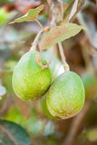 Avocado Fruits In The Tree Stock Photo