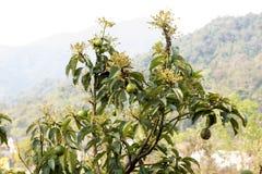 Avocado fruits on tree. Royalty Free Stock Image