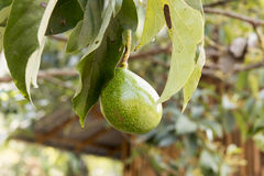 Avocado fruits on tree. Stock Images