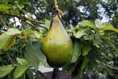 Avocado frut, das vom Baum hängt Stockfotos