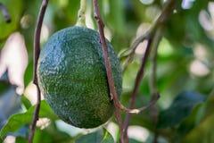 Avocado fruits growing on avocado tree