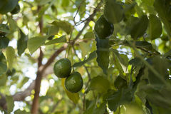 Avocado growing on tree Royalty Free Stock Photography