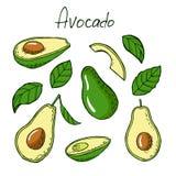 Avocado i liście w nakreślenie stylu Obrazy Stock
