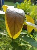 Avocado leaf Stock Photos