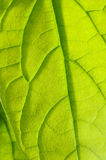 Avocado leaf Stock Photography