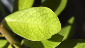 Avocado leafs. Close look on avocado leafs royalty free stock images