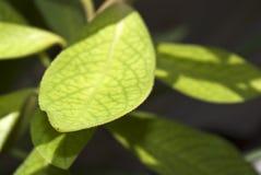 Avocado leaves Royalty Free Stock Photography