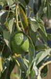 Avocado na drzewie obrazy royalty free