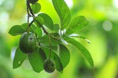Avocado op de boom, groene toon Stock Afbeeldingen