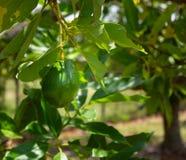 Avocado owocowy dojrzenie na drzewie, Południowy Floryda zdjęcia stock