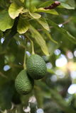 Avocado pears growing on a tree Stock Images