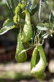 Avocado Persea Americana-Brasilien stockbilder